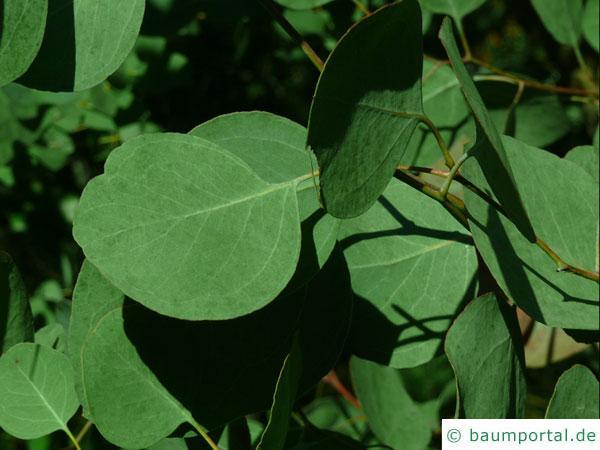 Silber-Dollar-Eukalyptus (Eucalyptus polyanthemos) Blätter