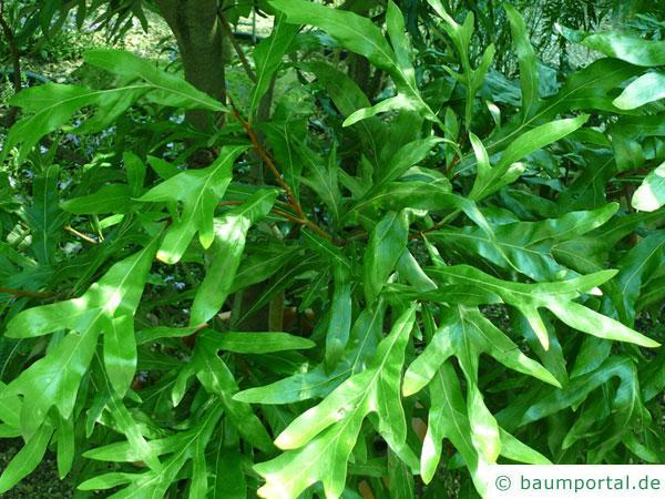 Silber-Eiche (Grevillea robusta) Blätter