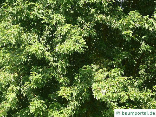 Silber-Ahorn (Acer saccharinum) Blätter
