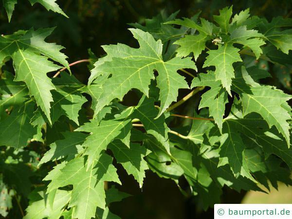 Silber-Ahorn (Acer saccharinum) Blätter im Sommer