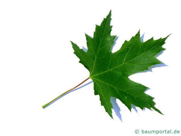 Silber-Ahorn (Acer saccharinum) Blatt
