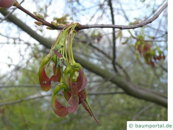 Silber-Ahorn (Acer saccharinum) Endknospe im Winter