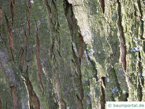 Silber-Ahorn (Acer saccharinum) der Stamm ist leicht gefurcht
