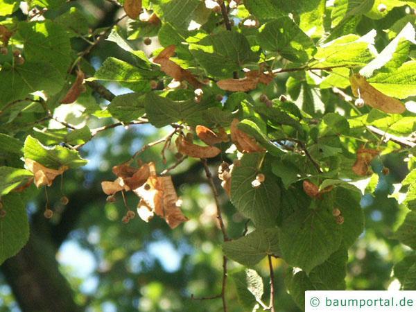 Silber-Linde (Tilia tomentosa) Blätter