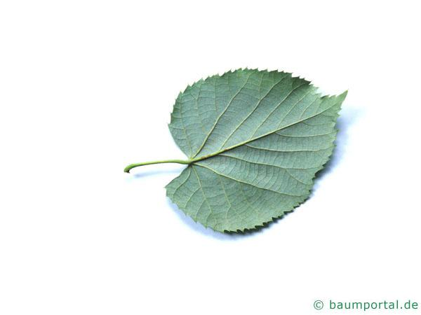 Silber-Linde (Tilia tomentosa) Blattunterseite