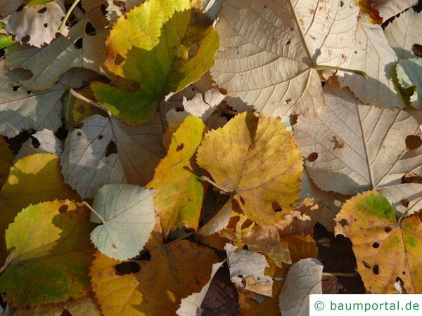 Silber-Linde (Tilia tomentosa) Herbstlaub