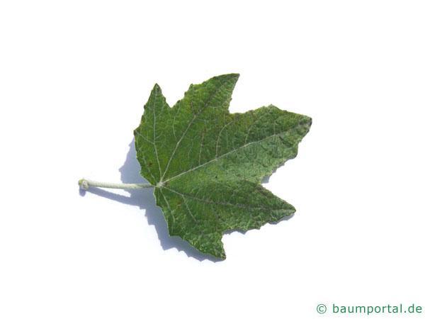 Silber-Pappel (Populus alba) Blatt