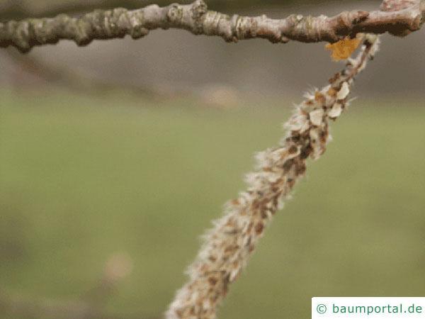 Silber-Pappel (Populus alba) Frucht