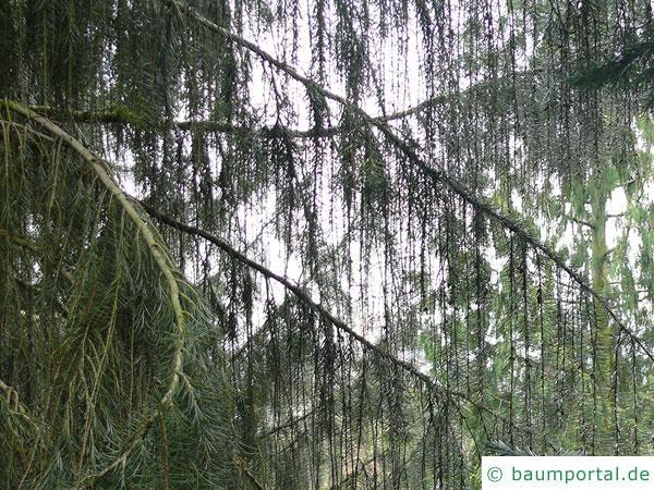 Siskiyou-Fichte (Picea breweriana) waagerechte Äste, hängende Zweige