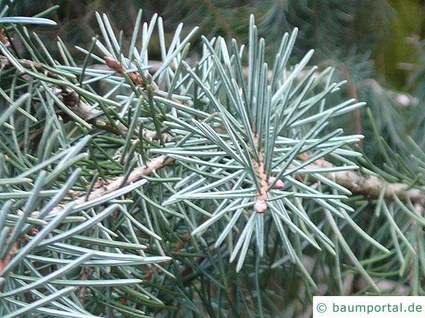 Siskiyou-Fichte (Picea breweriana) Nadeln