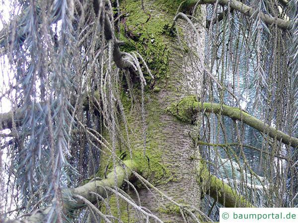 Siskiyou-Fichte (Picea breweriana) Stamm / Rinde / Borke