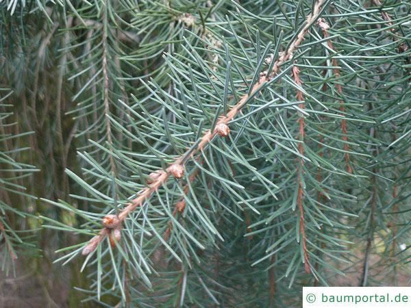 Siskiyou-Fichte (Picea breweriana) Zweig