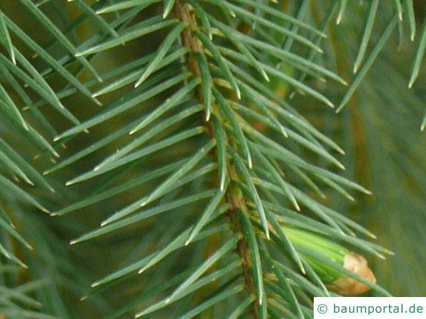 Sitka-Fichte (Picea sitchensis) Nadeln