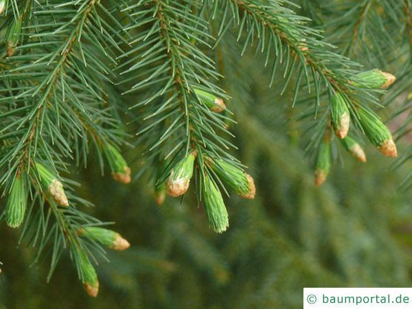 Sitka-Fichte (Picea sitchensis) Zweige im Austrieb