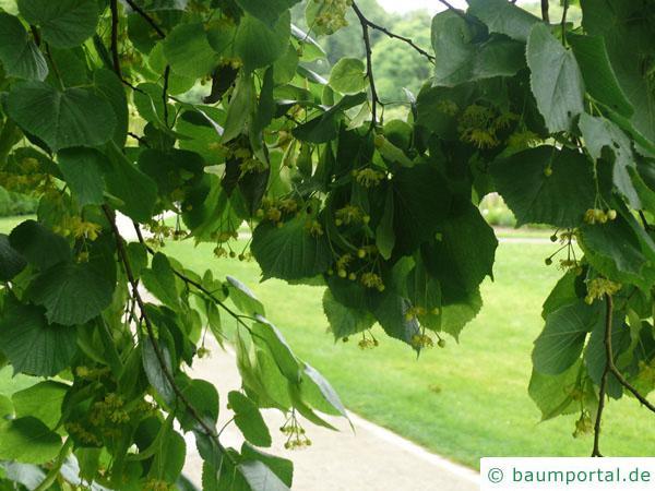 Sommer-Linde (Tilia platyphyllos) Blätter