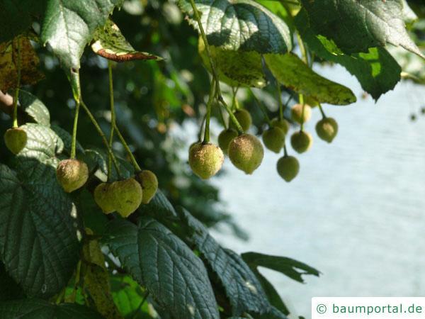 Sommer-Linde (Tilia platyphyllos) Blätter und Früchte