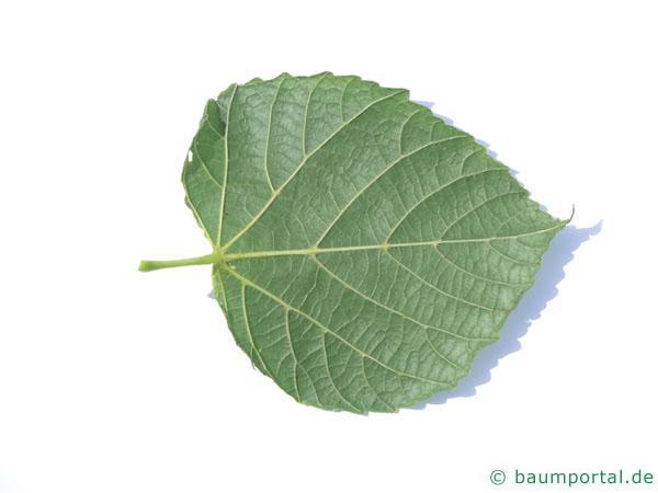 Sommer-Linde (Tilia platyphyllos) Blattunterseite