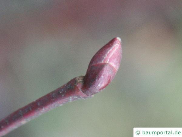 Sommer-Linde (Tilia platyphyllos) Endknospe