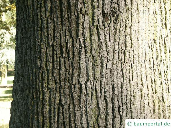 Sommer-Linde (Tilia platyphyllos) Stamm / Borke / Rinde