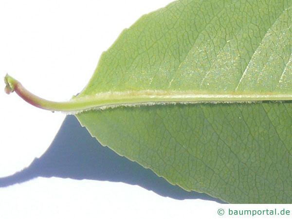spähtblühende Trauben-Kirsche (Prunus serotina) Ausschnitt Blatt
