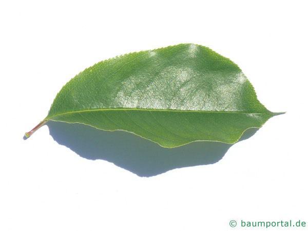 spähtblühende Trauben-Kirsche (Prunus serotina) Blatt
