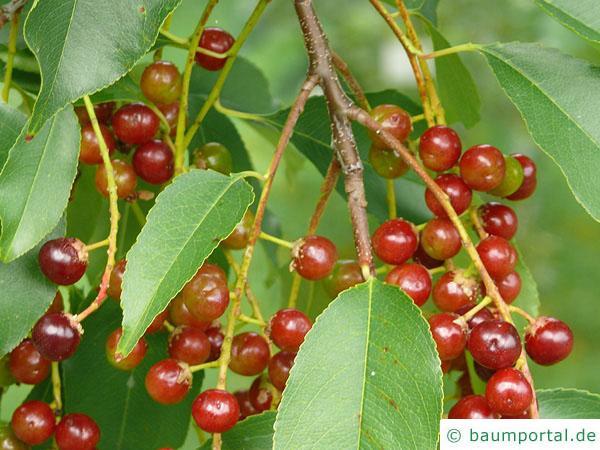 spähtblühende Trauben-Kirsche (Prunus serotina) Früchte