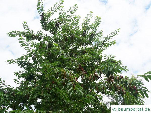 spähtblühende Trauben-Kirsche (Prunus serotina) Krone