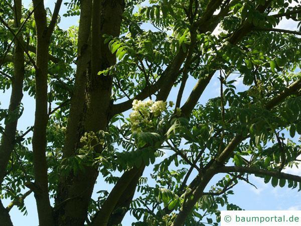 Speierling (Sorbus domestica) Blüten