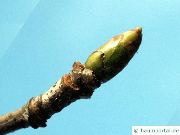 Speierling (Sorbus domestica) Endknospe