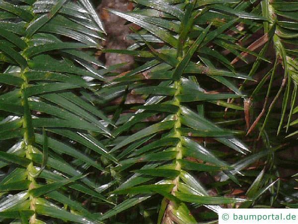 Spießtanne (Cunninghamia lanceolata) Nadelstellung