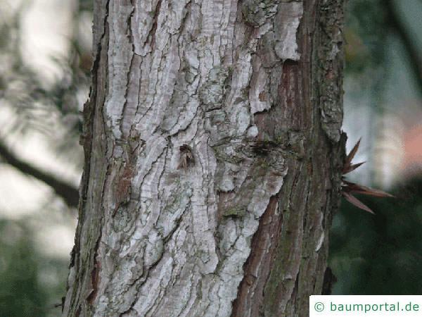 Spießtanne (Cunninghamia lanceolata) Stamm
