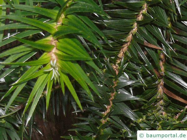 Spießtanne (Cunninghamia lanceolata) Zweig
