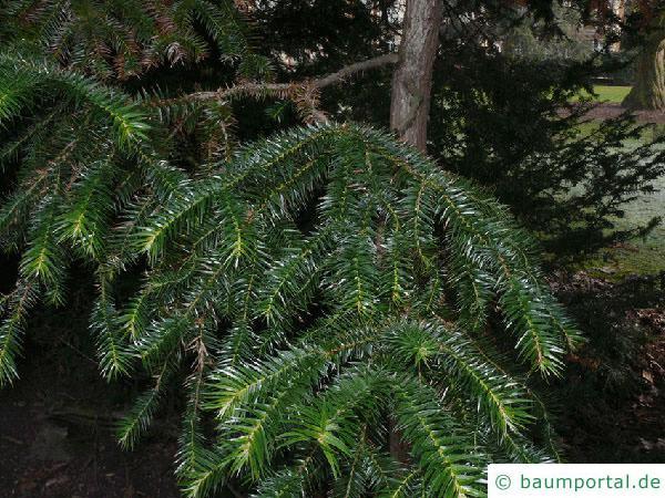 Spießtanne (Cunninghamia lanceolata) Zweige