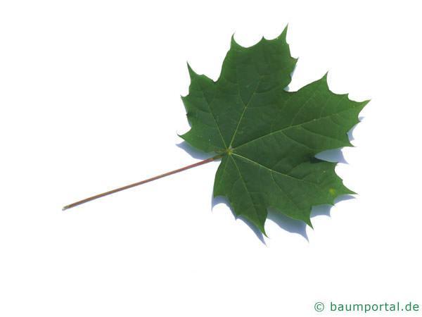 Spitz-Ahorn (Acer platanoides) Blatt