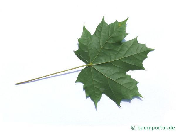 Spitz-Ahorn (Acer platanoides) Blattrückseite