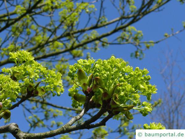 Spitz-Ahorn (Acer platanoides) gelbe Blüte