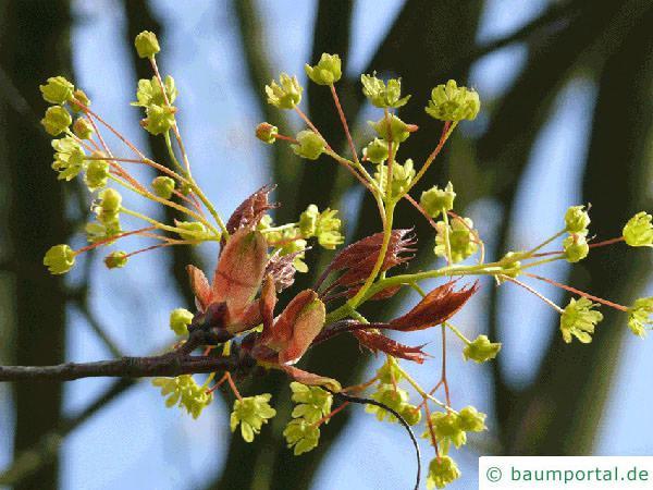 Spitz-Ahorn (Acer platanoides) Blüten