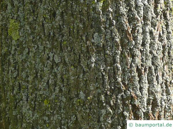 Spitz-Ahorn (Acer platanoides) Stamm
