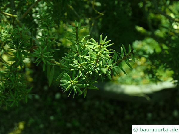 Steineibe (Podocarpus totara) Zweig