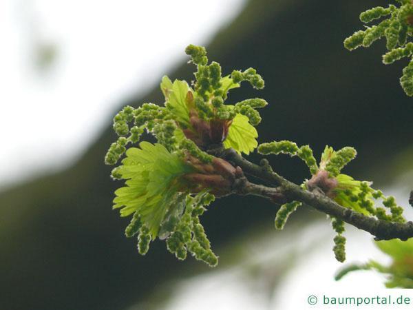 Stiel-Eiche (Quercus robur) im Austrieb