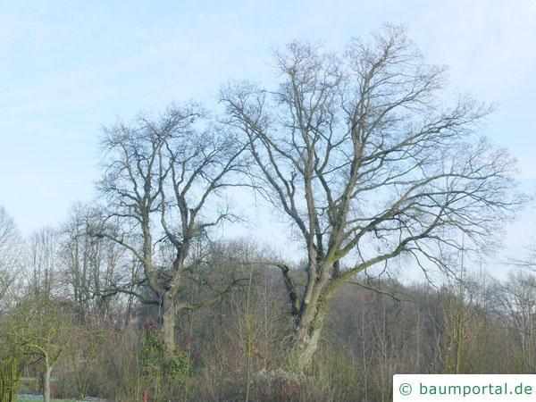 Stiel-Eiche (Quercus robur) Baum