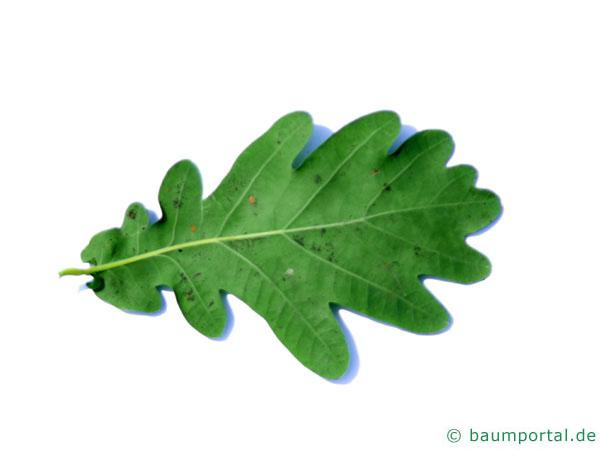 Stiel-Eiche (Quercus robur) Blatt Rückseite