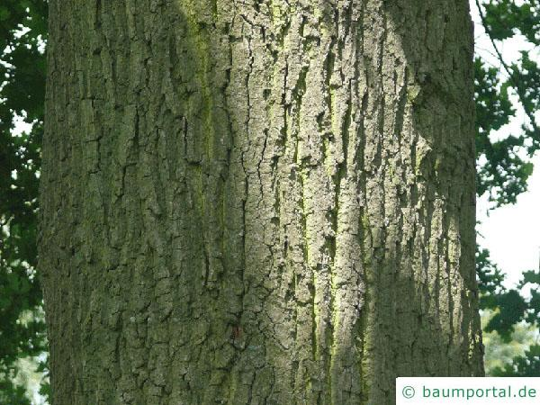 Stiel-Eiche (Quercus robur) Stamm / Rinde / Borke