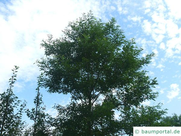 Straßen-Akazie (Robinia pseudoacacia 'Monophylla') Baum im Sommer