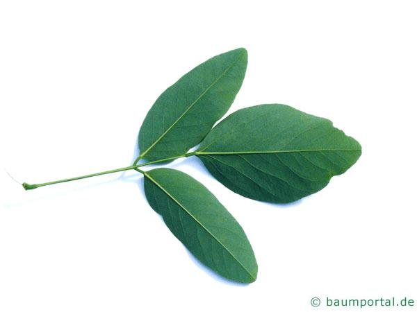 Straßen-Akazie (Robinia pseudoacacia 'Monophylla') Blattunterseite