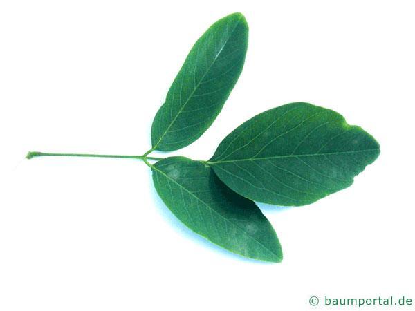 Straßen-Akazie (Robinia pseudoacacia 'Monophylla') Blatt