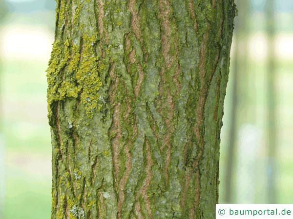 Straßen-Akazie (Robinia pseudoacacia 'Monophylla') Stamm