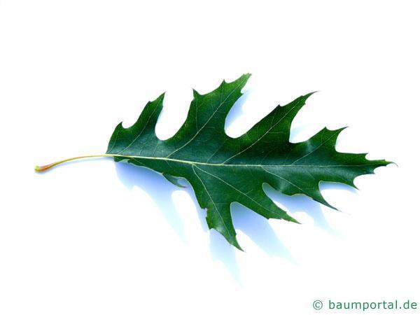 Sumpf-Eiche (Quercus palustis) Blatt