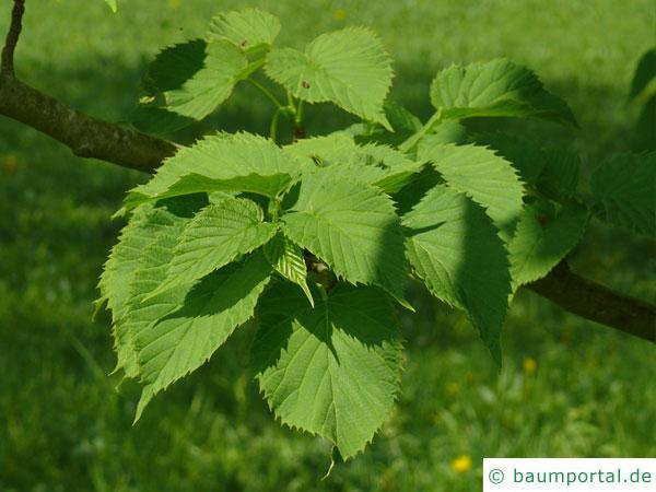 Taschentuchbaum (Davidia involucrata) Blätter