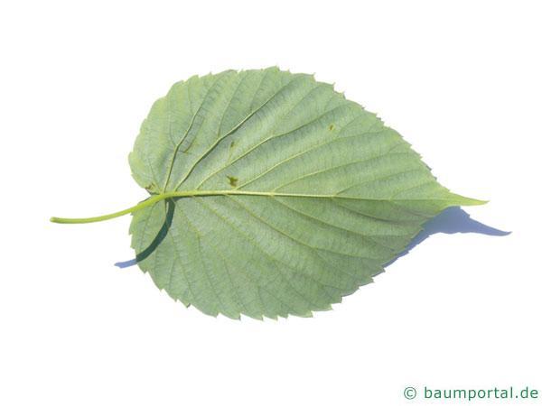 Taschentuchbaum (Davidia involucrata) Blatt Unterseite